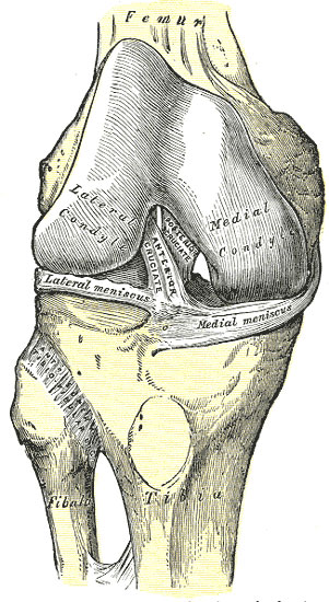 Knee Joint Anatomy And Function Oasis Orthopaedics Melbourne